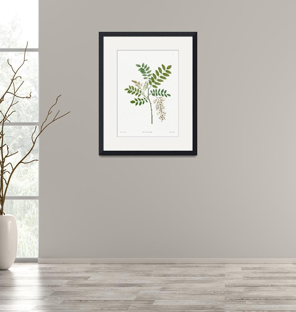 """""""Acacia Vintage Botanical""""  by FineArtClassics"""