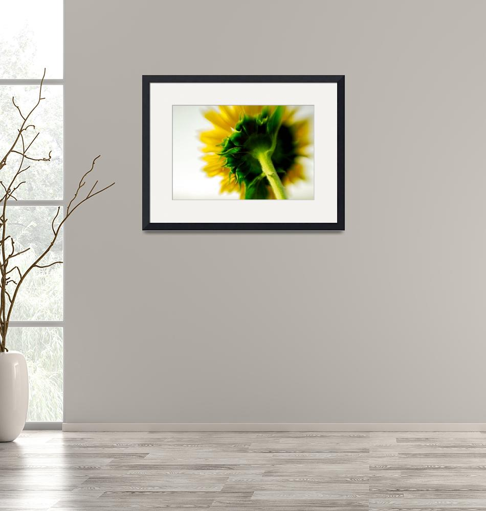 """""""Sunflower From Behind""""  (2009) by cfu1"""