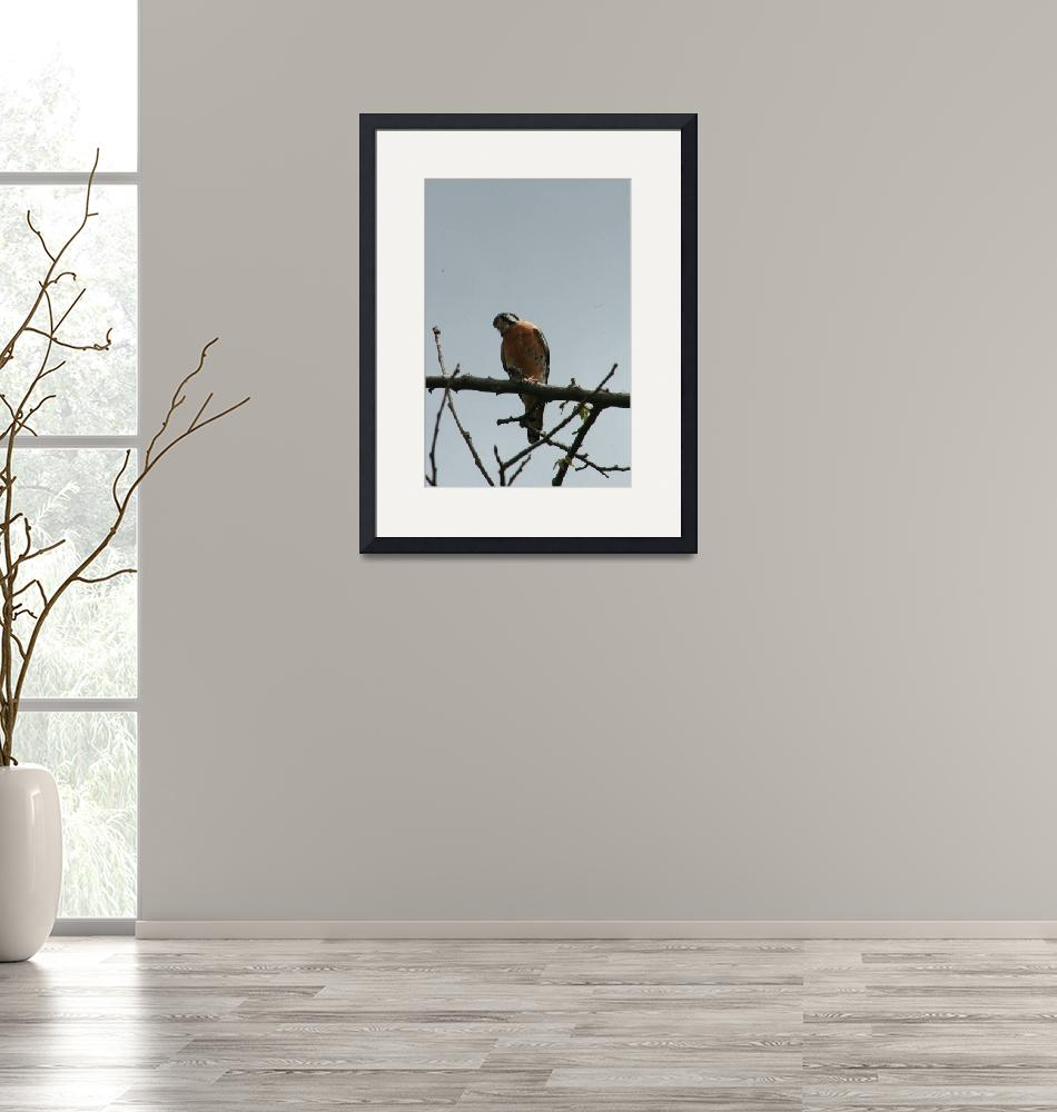 """American Kestrel on a Branch""  (2013) by rhamm"
