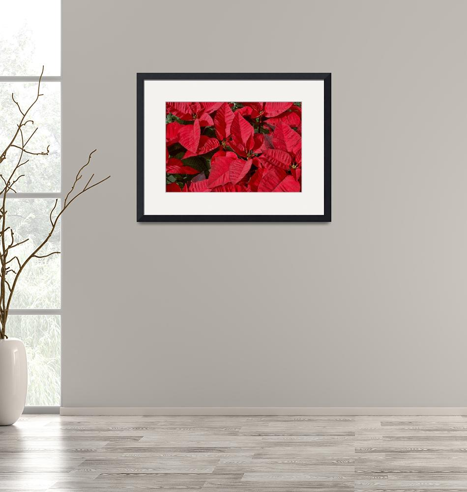 """Poinsettias""  (2007) by PaulCoco"