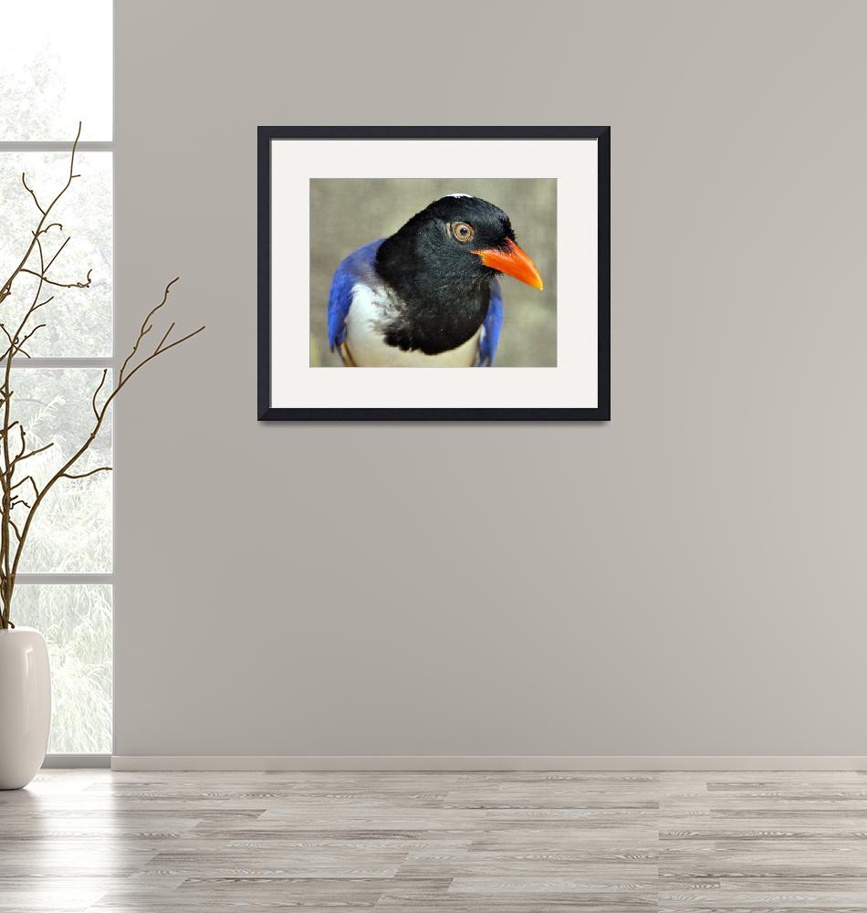 """Curious Bird: Red-billed Blue Magpie (Urocissa ery""  (2003) by JoaoPonces"