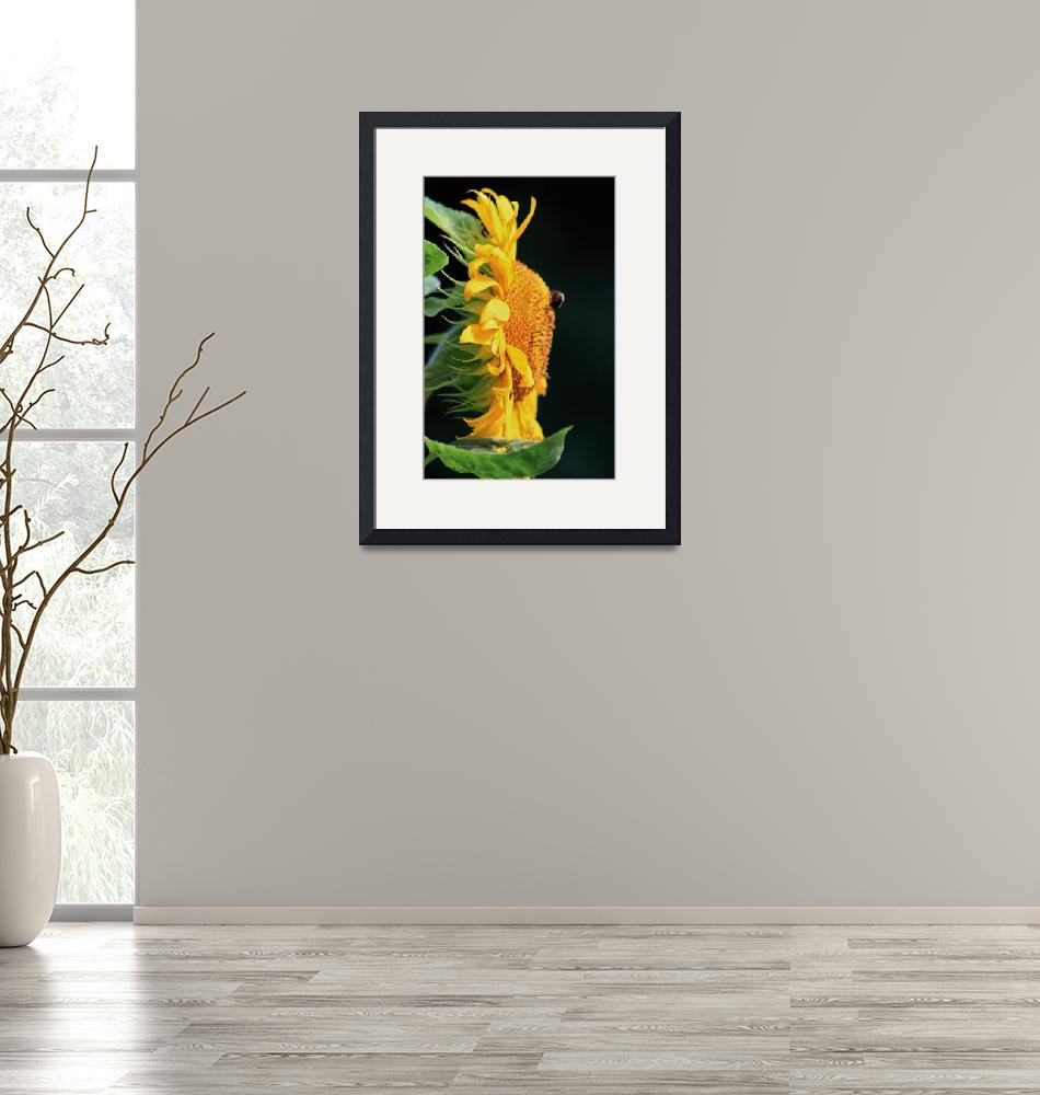 """""""Sunflower with Bee""""  (2015) by MountainRosePhotography"""
