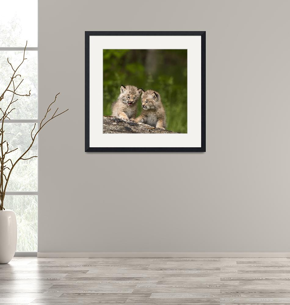 """""""Two Canada Lynx Kittens Playing On A Log Canmore,""""  by DesignPics"""