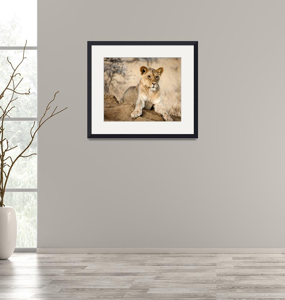 """Young Male Lion""  (2012) by mjphoto-graphics"