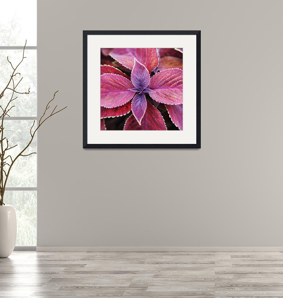 """""""Coleus Red Rosie""""  by NeilOvery"""