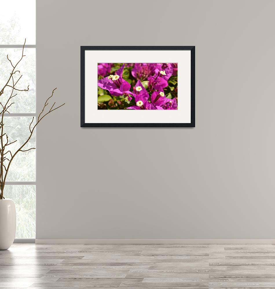 """""""Bougainvillea Blossoms""""  (2013) by Hiwalani_Photography"""