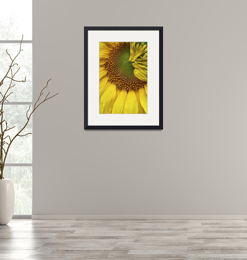 """""""Sunflower Details""""  (2012) by jimcrotty"""