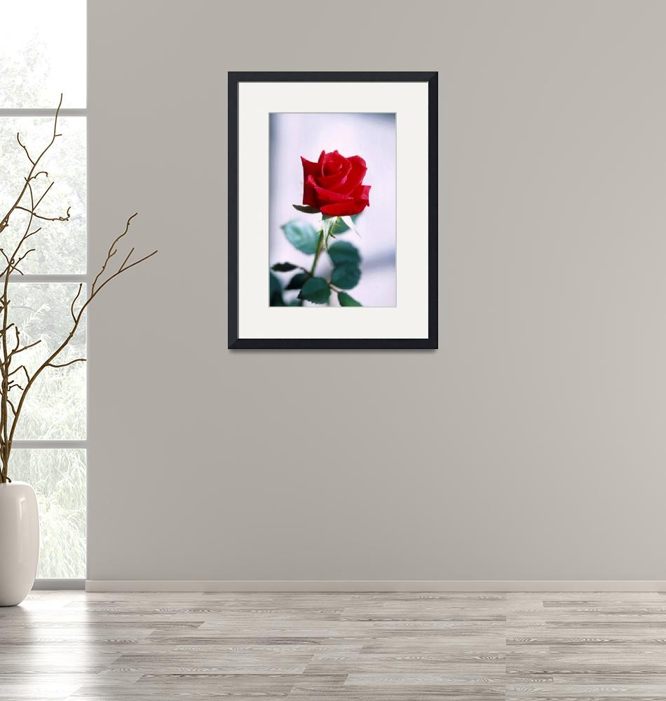 """""""Red Rose on white""""  (2013) by TheNorthernTerritory"""