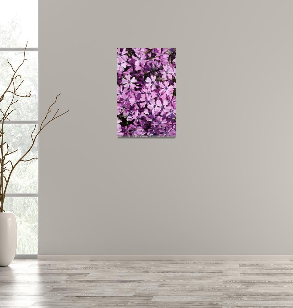 """""""Purple Beauty Phlox""""  by Groecar"""