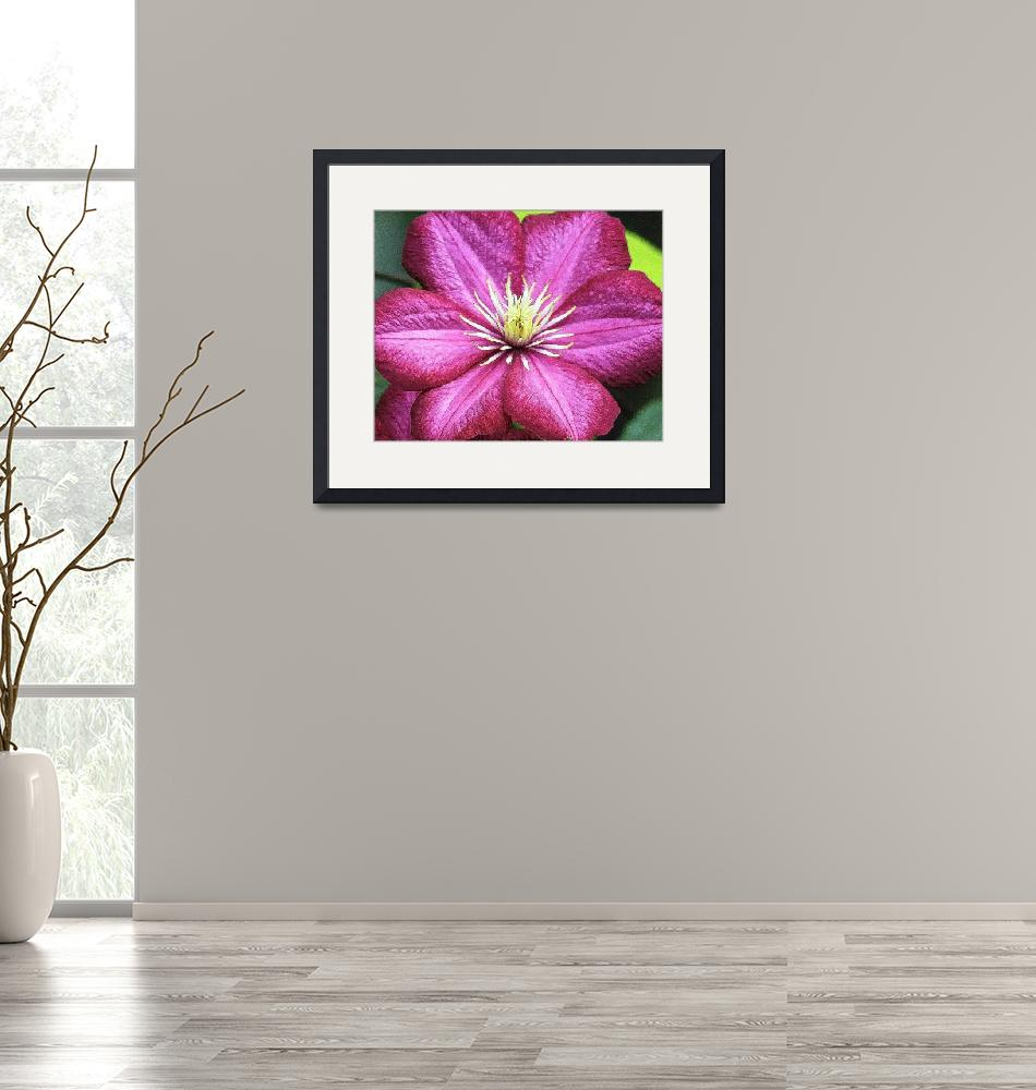 """""""Purple Clematis""""  (2010) by ROBERTSCOTTPHOTOGRAPHYY"""