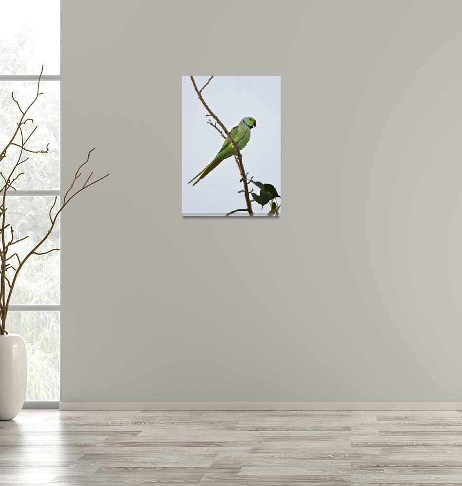 """""""Low angle view of a Rose Ringed parakeet Psittacu""""  by Panoramic_Images"""