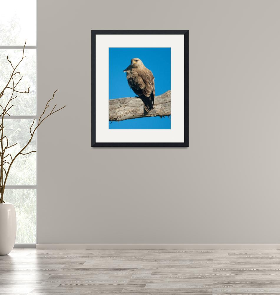 """""""Tawny Eagle""""  (2014) by SederquistPhotography"""