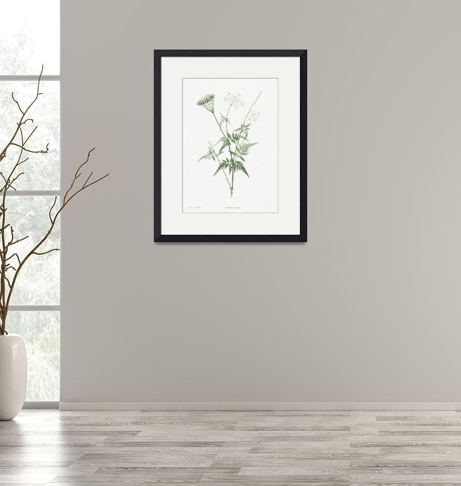 """Turnip-Rooted Chervil Vintage Botanical""  by FineArtClassics"