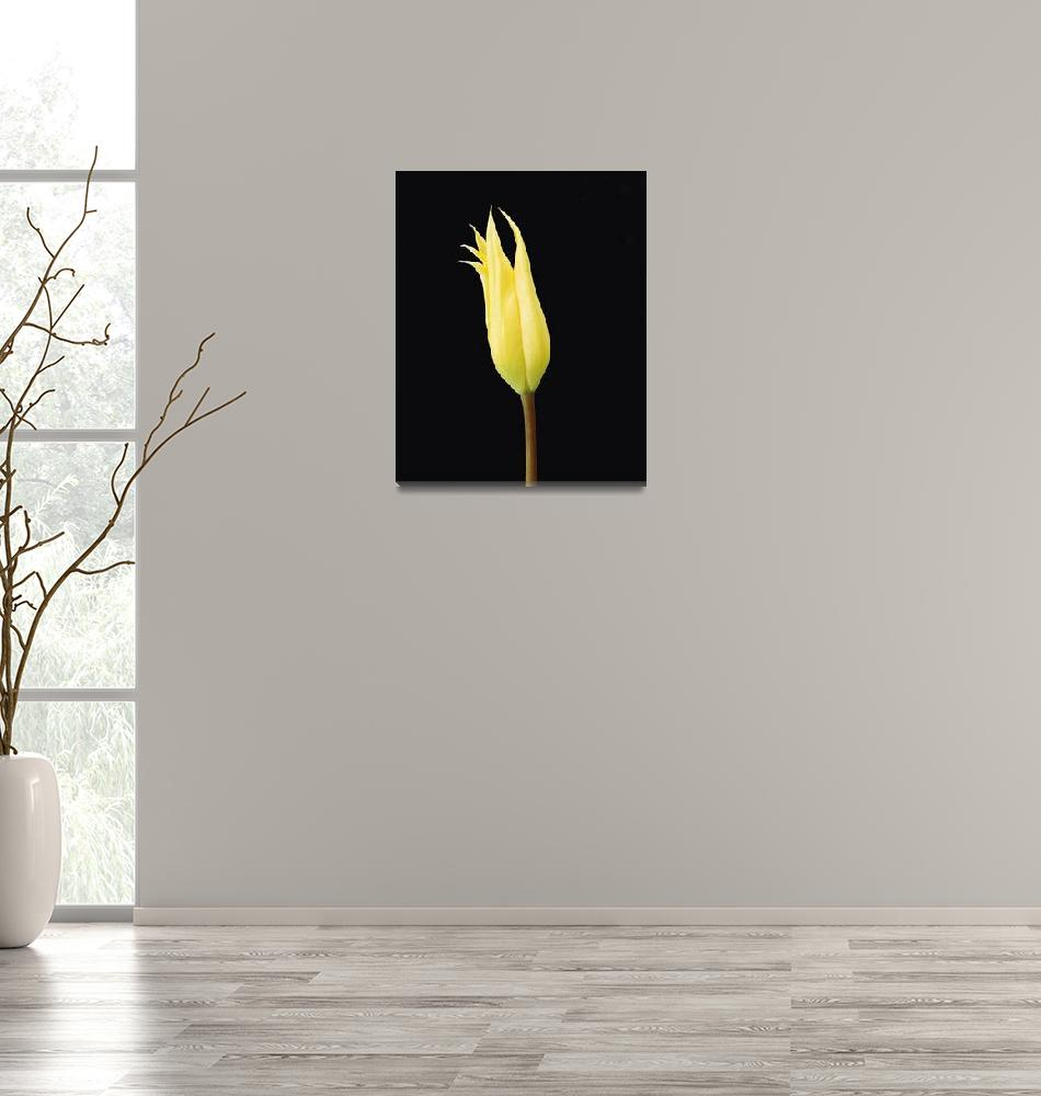"""""""Yellow Tulip""""  by alexramsay"""