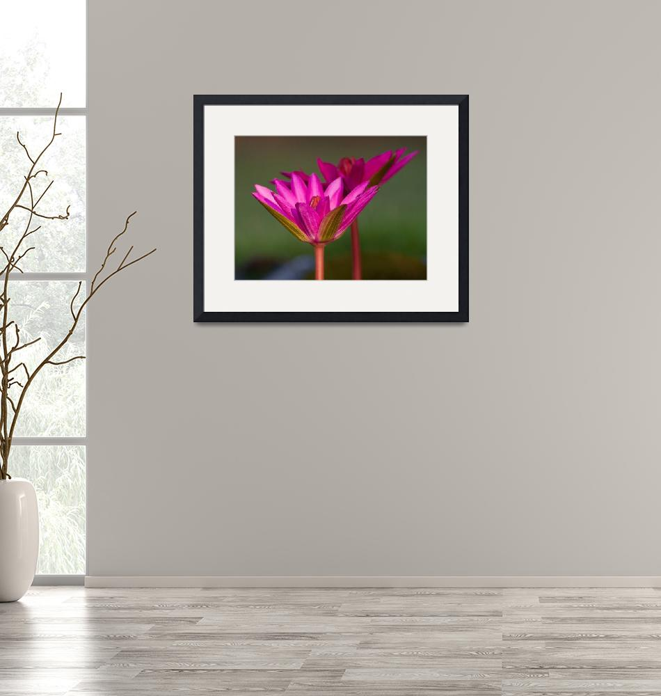 """""""Pink Water Lilies""""  (2012) by ashim"""