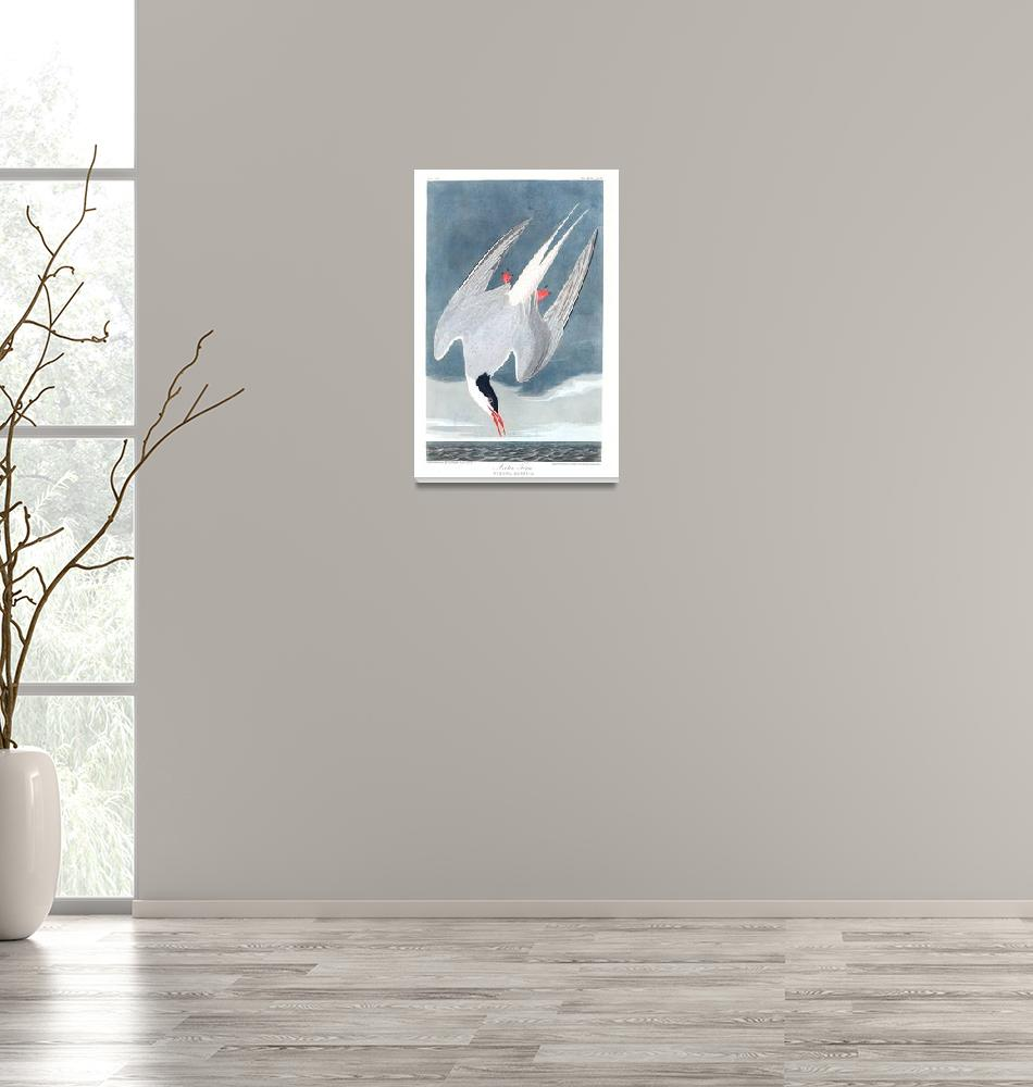 """Arctic Tern, Plate 250""  by FineArtClassics"