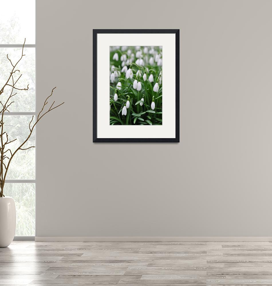 """""""Snowdrops""""  (2011) by DavidIsaacsonPhotography"""