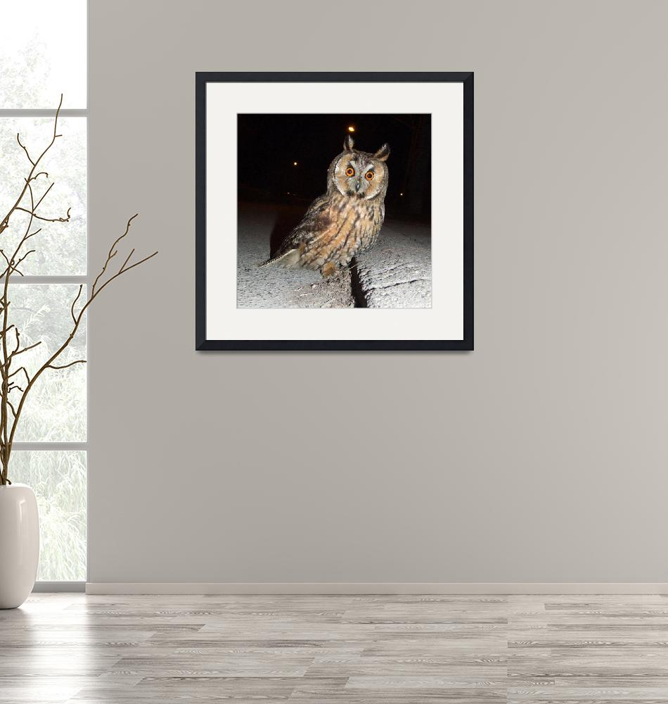 """Long eared owl (Asio otus) DSCF1769""  by Banstolac"