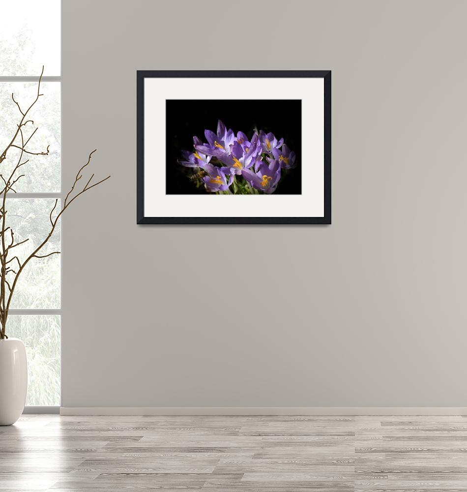 """flowers on black - - lilac crocus -2-""  (2017) by issabild"