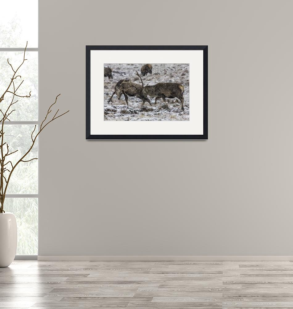 """""""Stags Rutting in the Snow""""  (2013) by derekbeattieimages"""