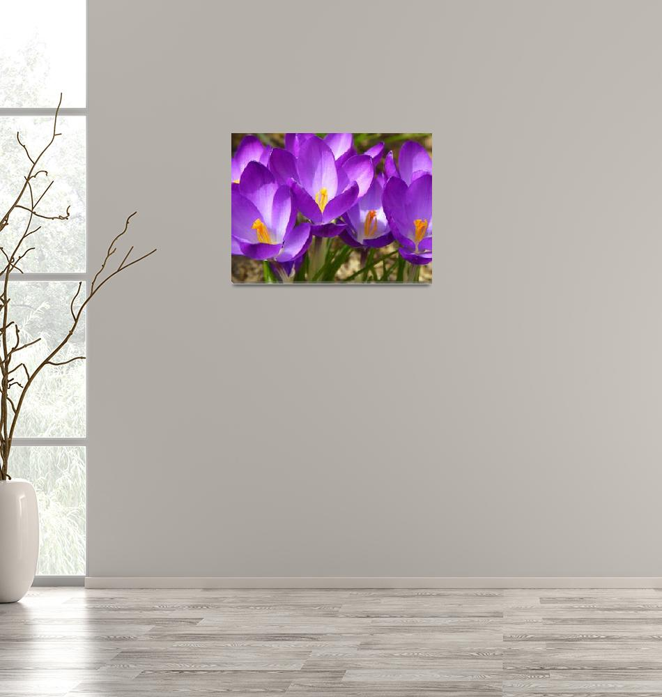 """Spring Crocus Flowers""  (2013) by vpicks"