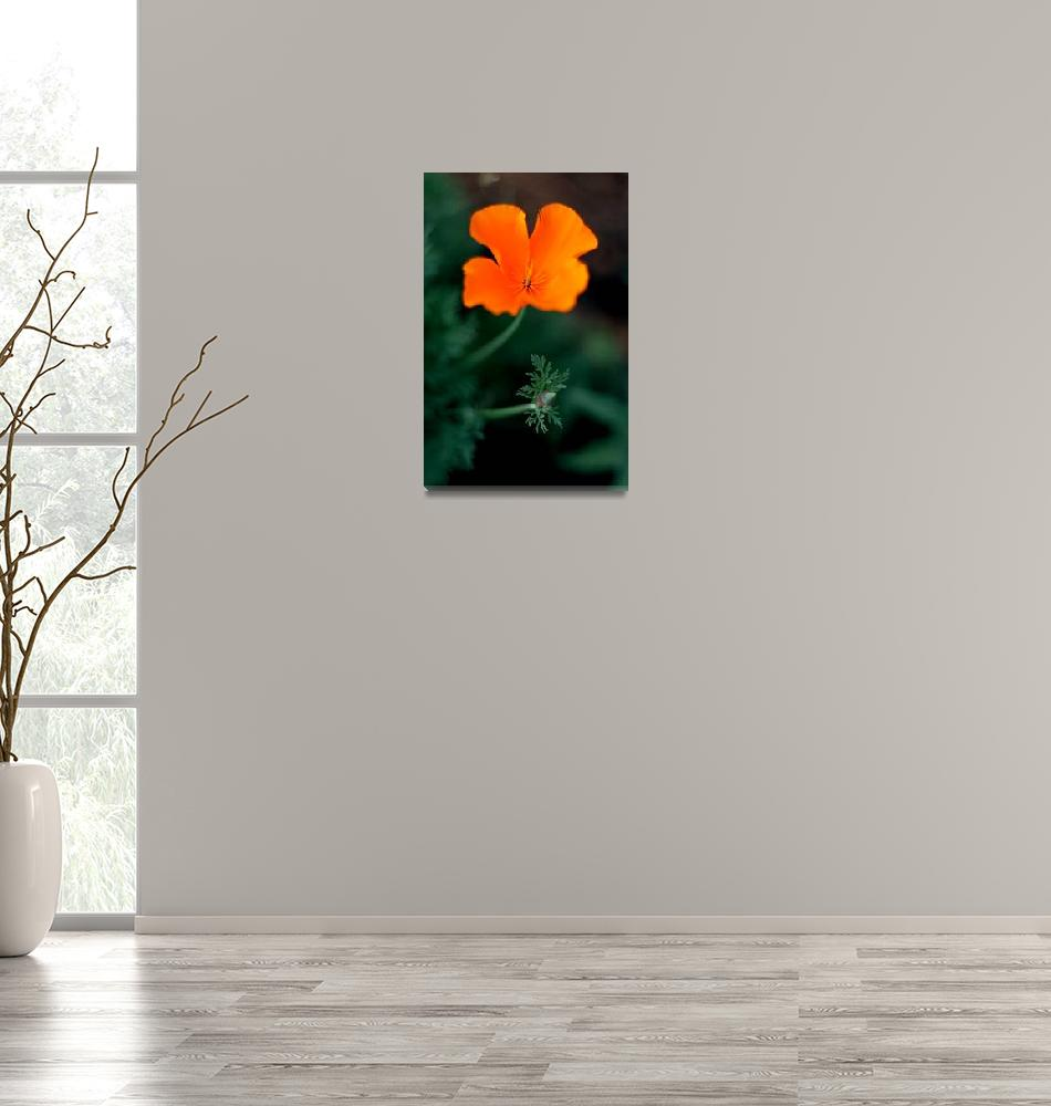 """California Poppy with bud""  (2008) by paulhood"