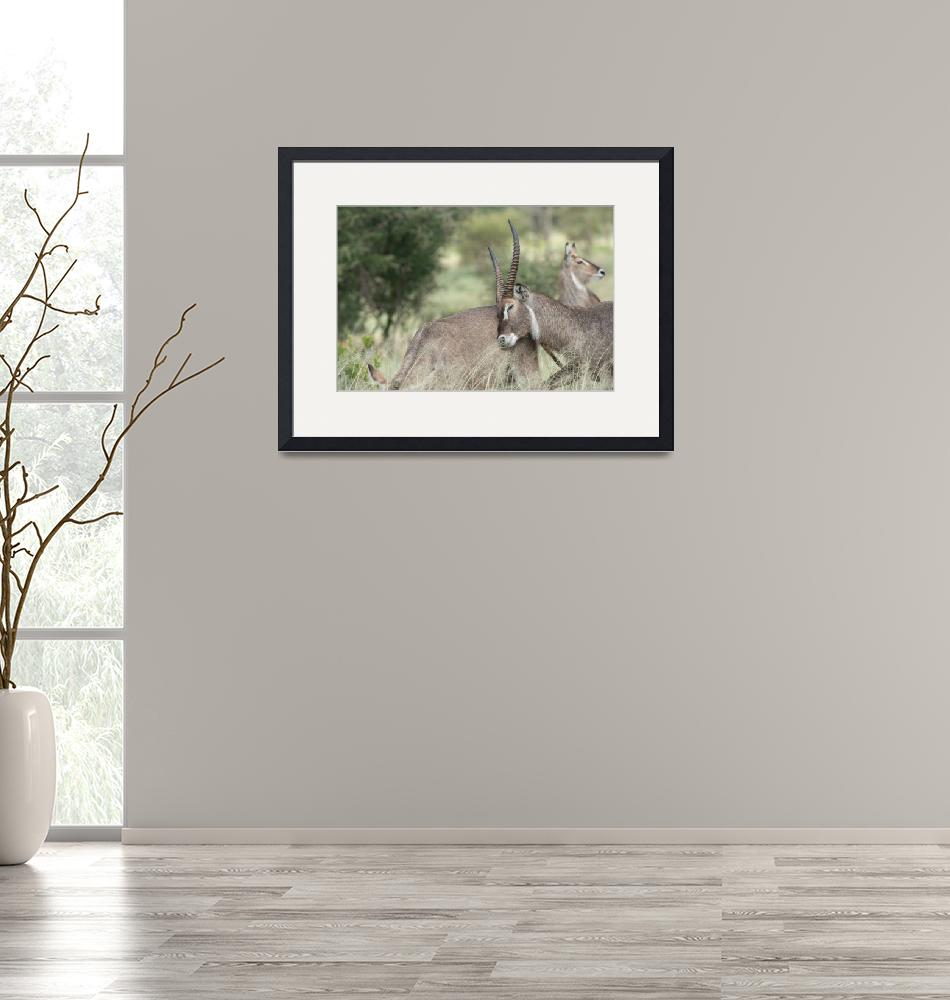 """""""Courting Waterbuck""""  (2014) by SederquistPhotography"""
