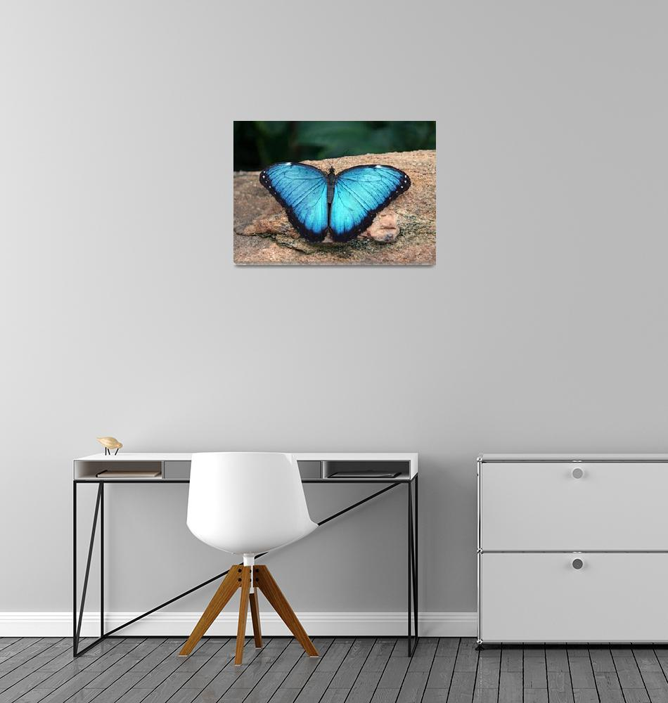 """Blue Morpho Butterfly""  (2009) by daisyjoan"