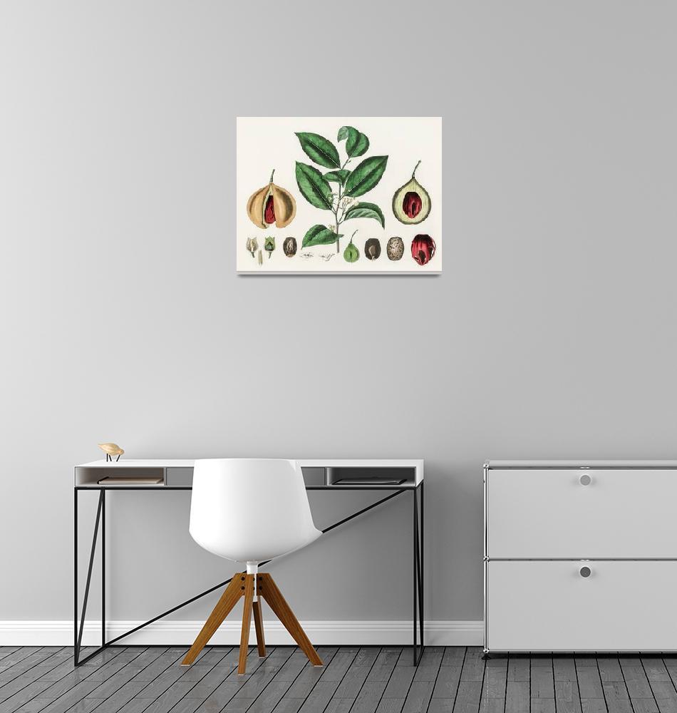 """Vintage Botanical Nutmeg""  by FineArtClassics"