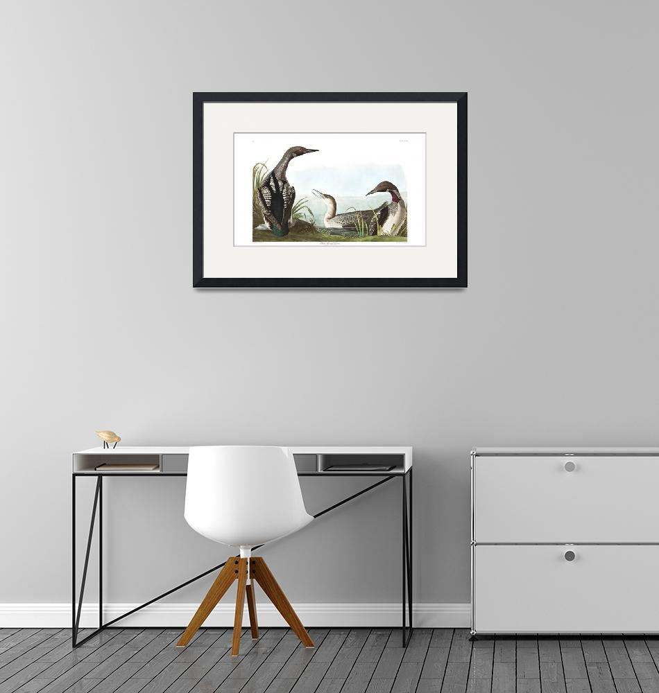 """Black Throated Diver, Plate 346""  by FineArtClassics"