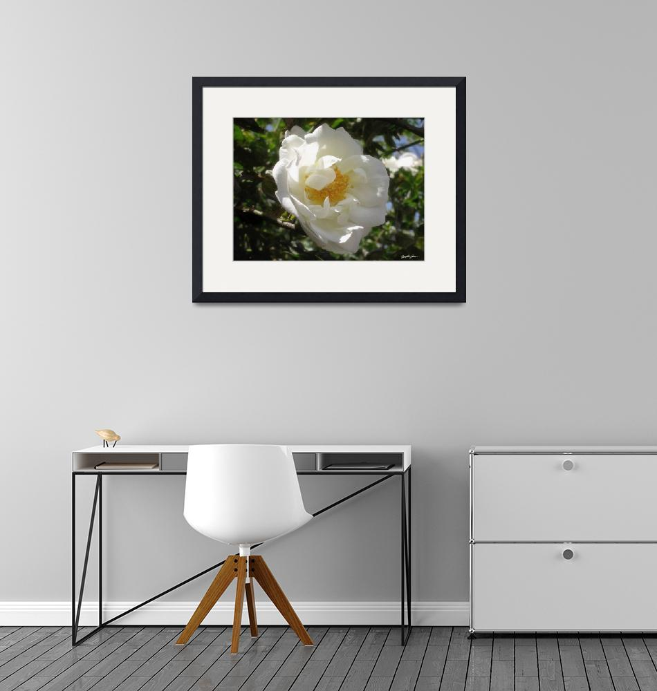 """""""Old Fashioned White Rose 2""""  (2010) by ChristopherInMexico"""