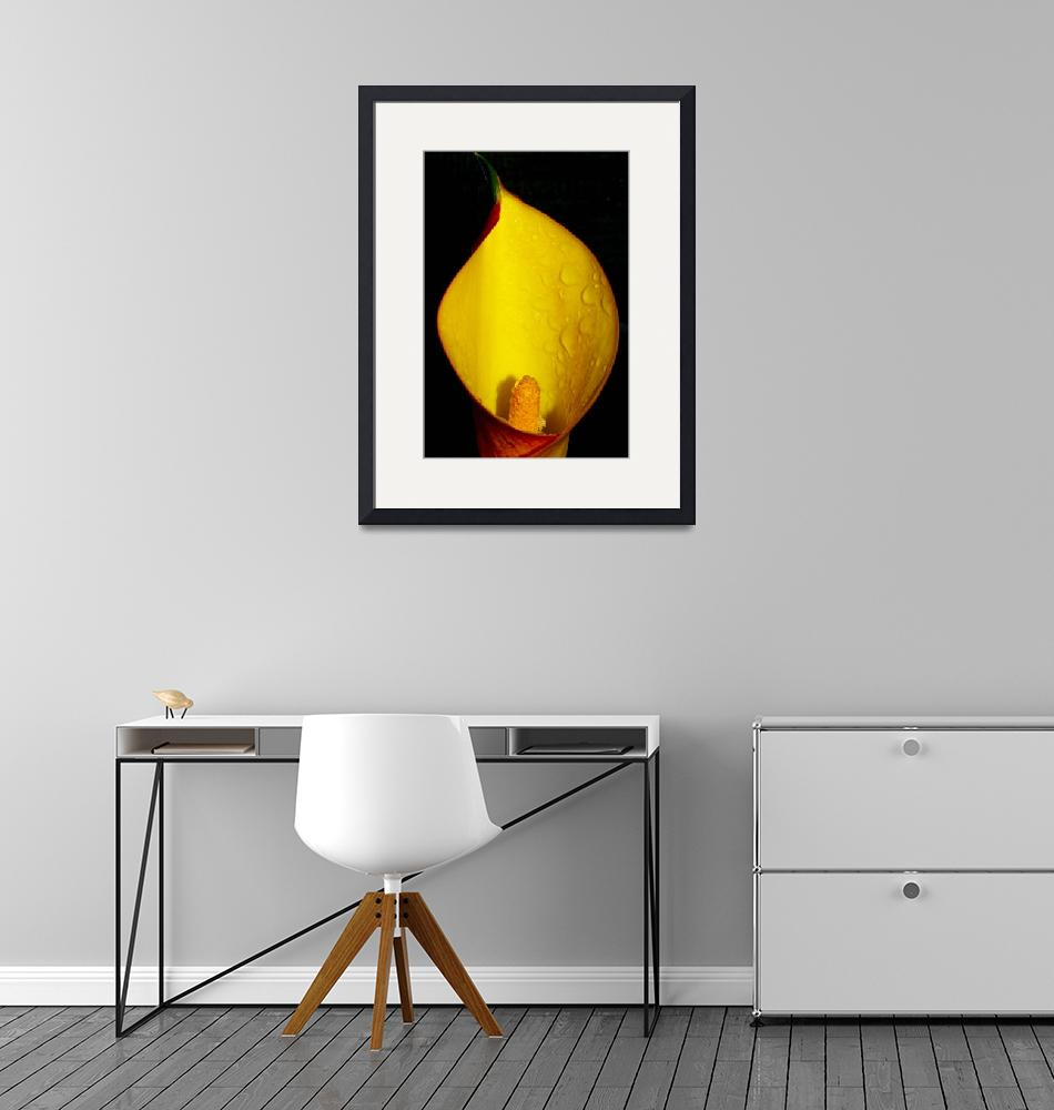 """Yellow Arum Lily""  (2008) by erinmoncurphotography"