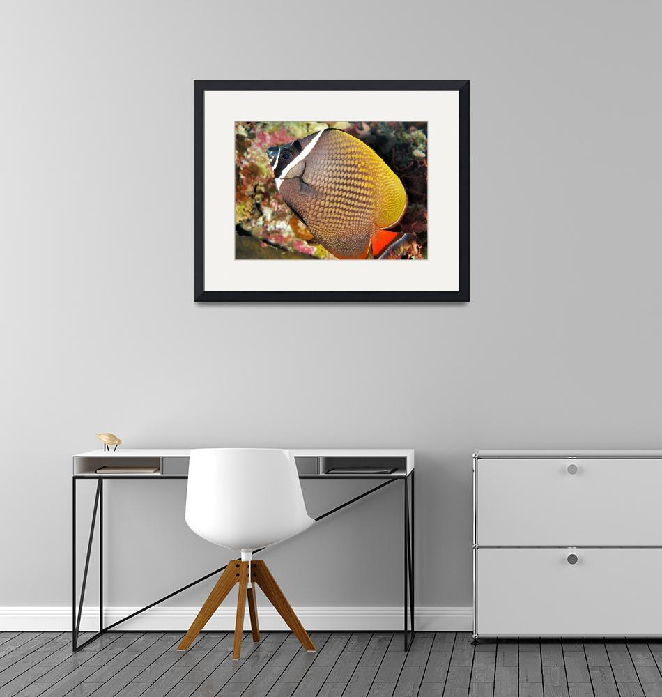 """""""Collare Butterflyfish""""  (2008) by JoaoPonces"""