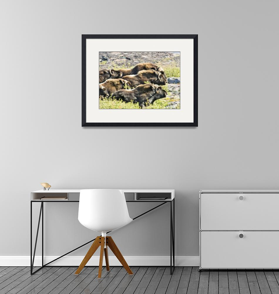 """""""Herd Of Muskox Tundra""""  (2010) by northandsouthphotography"""
