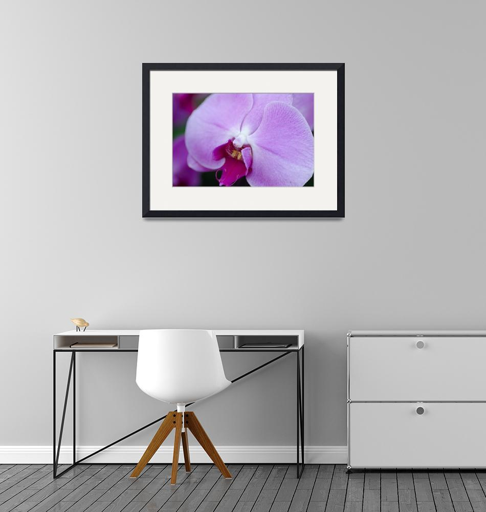 """""""Singapore Orchid""""  by Teager"""