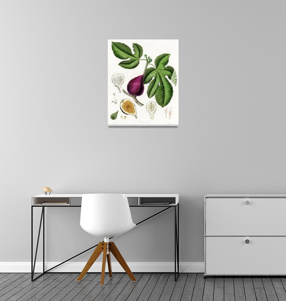 """Vintage Botanical Fig""  by FineArtClassics"