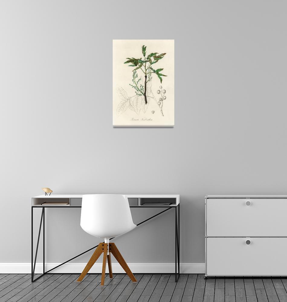 """Vintage Botanical Terebinth""  by FineArtClassics"
