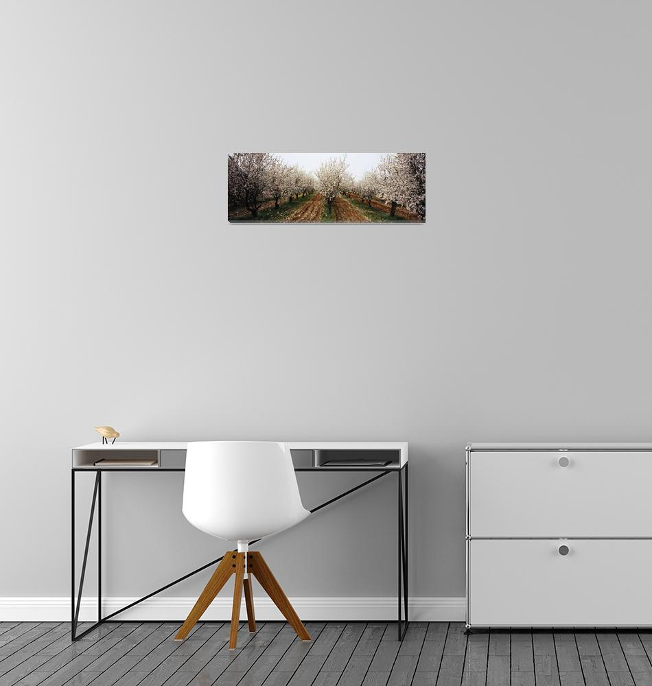 """""""Almond trees in an orchard""""  by Panoramic_Images"""