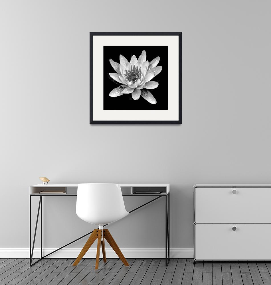 """""""Water Lily In Black And White""""  (2009) by bavosiphotoart"""