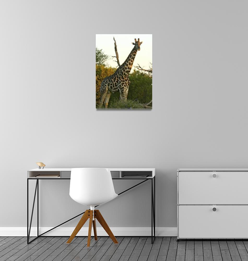 """Curious Giraffe""  by KarenZukRosenblatt"