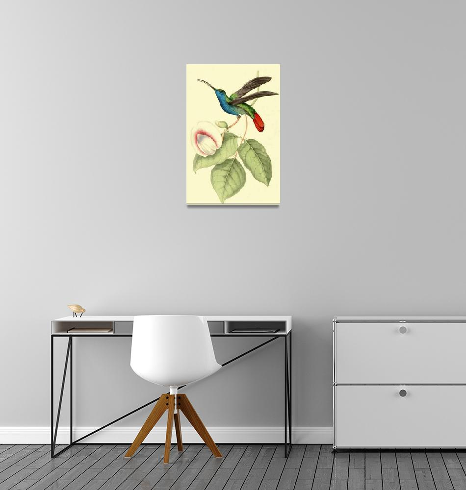 """""""Sickle winged Humming Bird - PD Image""""  by DelCalsione"""