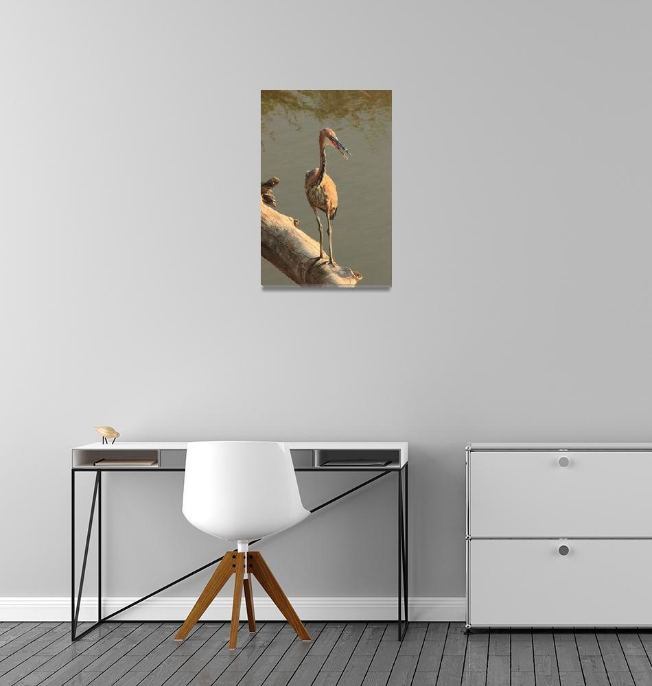 """Goliath Heron  7232""  (2013) by rayjacque"