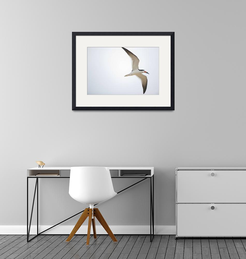 """""""Black skimmer Rynchops niger in flight Three Brot""""  by Panoramic_Images"""