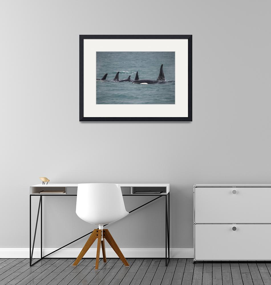 """""""Orca Family with Male, Alaska""""  (2018) by SederquistPhotography"""