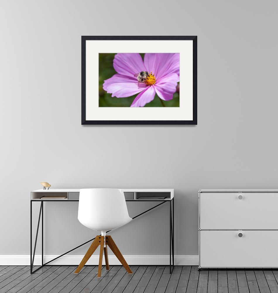"""bee and cosmea blossom""  by cisfo"