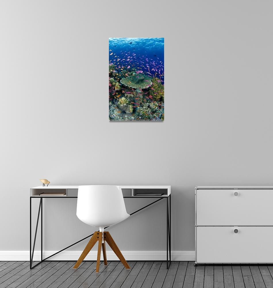 """Fiji, Hard Coral Reef Scene With School Lyretail A""  by DesignPics"