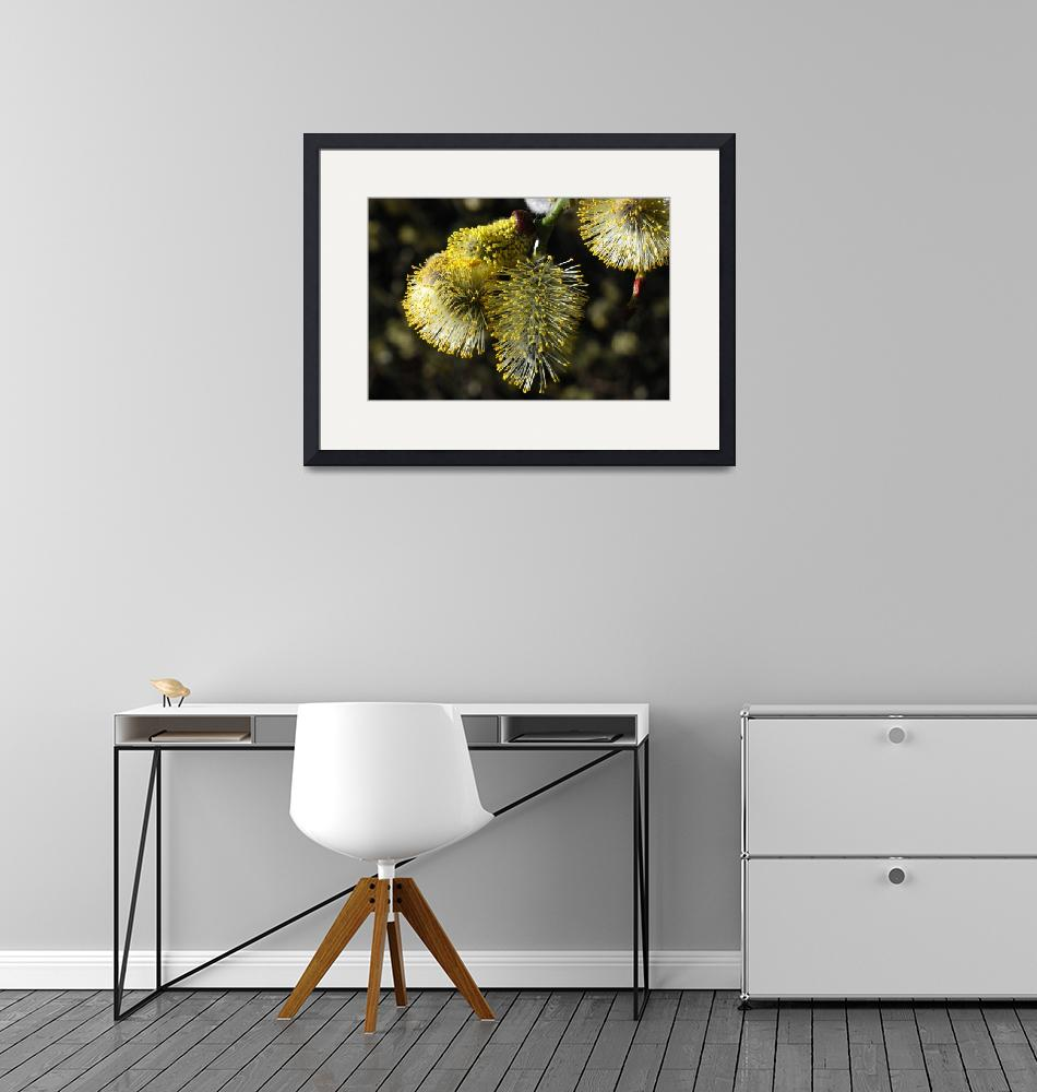 """""""Pussy Willow Catkins""""  by BobDenton"""