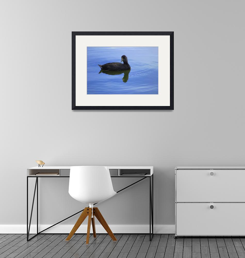 """""""Juvenile American Coot""""  (2015) by rhamm"""