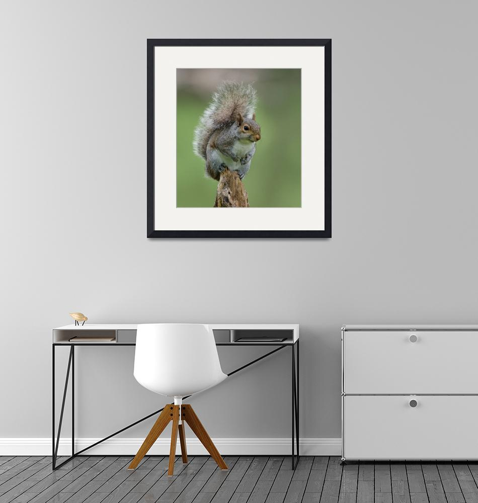 """""""Gray Squirrel""""  (2012) by WildAboutNaturePhotography"""