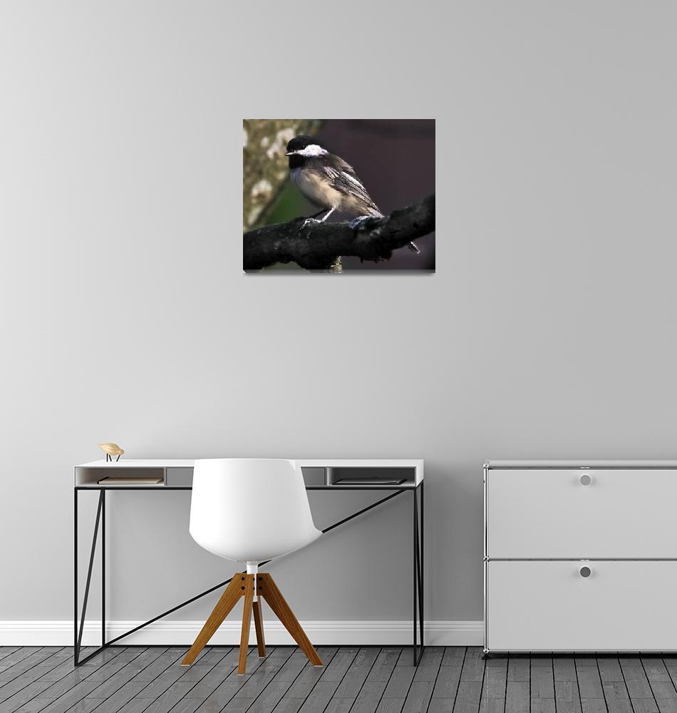 """Black-capped Chickadee""  (2011) by ROBERTSCOTTPHOTOGRAPHYY"